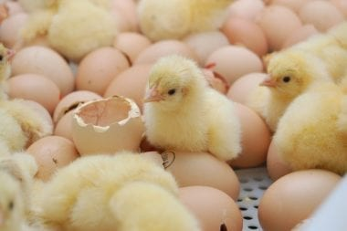 phytomolecules in broilers' and laying hens' diet improves their performance