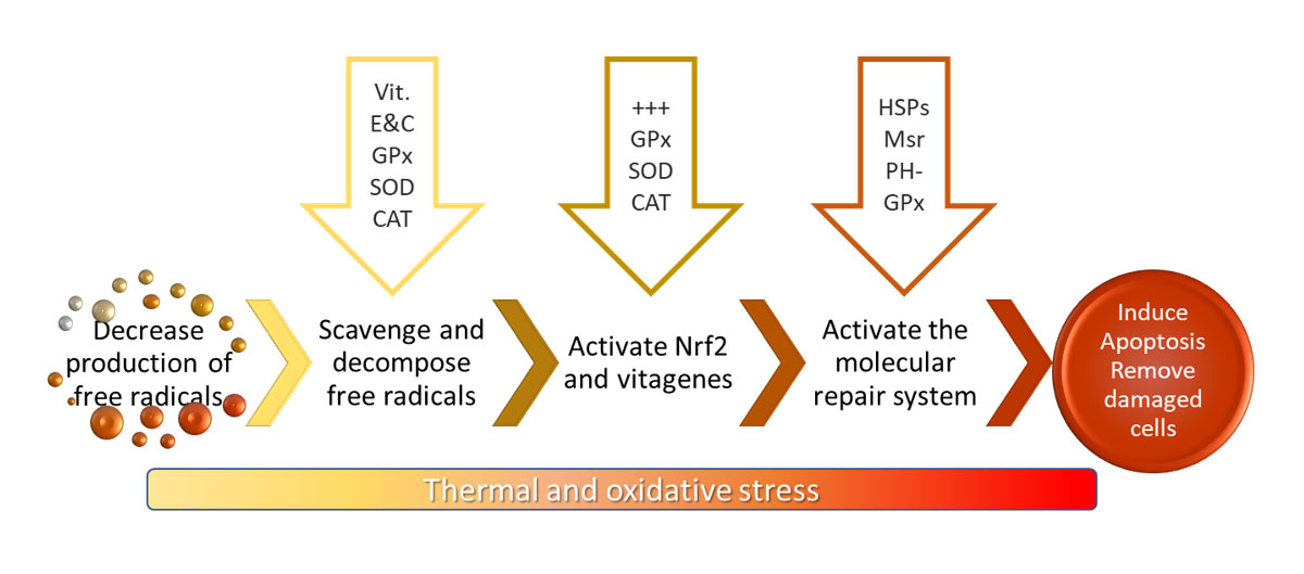 Figure 2 - Summary of the antioxidant response